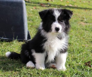 A little King of Speedborders, 8 weeks old, black-white male, both testicles down
