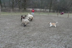 Ája at her first herding lesson