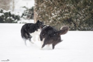 Conny (without pedigree, lives together with Alpi) and Xandro playing together