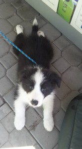 Gracious Grover Od Cidliny, 2 months old, black-white boy