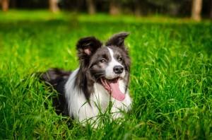 Eywa x Xandro puppy, HD A, ED 0/0 and OCD-free