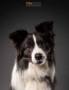 Mlt Ch Cyp Grand Ch Gallant Greyson Od Cidliny, HD-A, ED-free, OCD-free, eyes clear, blue-white stud dog living in Cyprus, full scissor bite